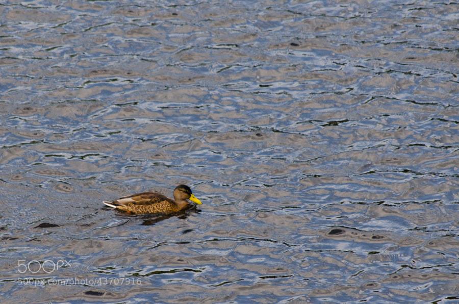 Photograph duck ...... duck by Gunter Werner on 500px