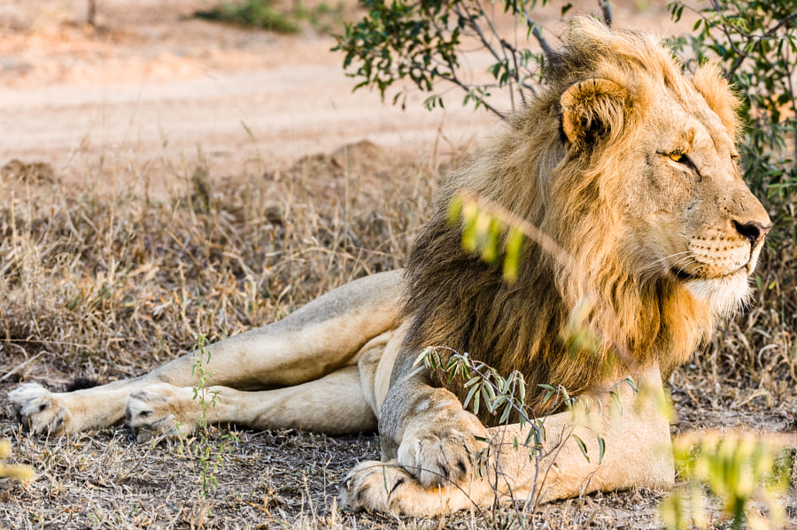 male lion resting in the morning light somewhere in KNP.  