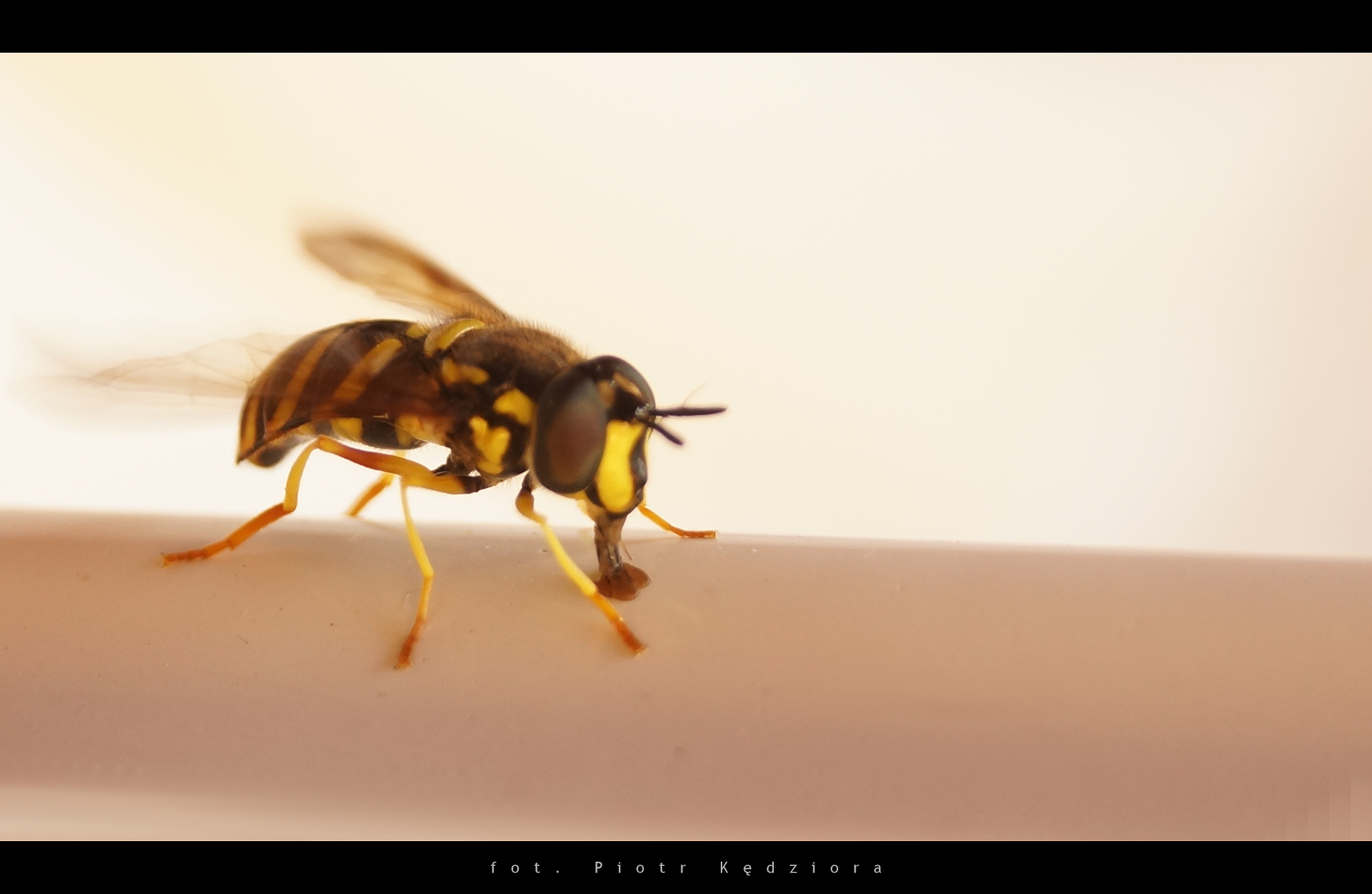 Photograph Wasp by ImI  on 500px