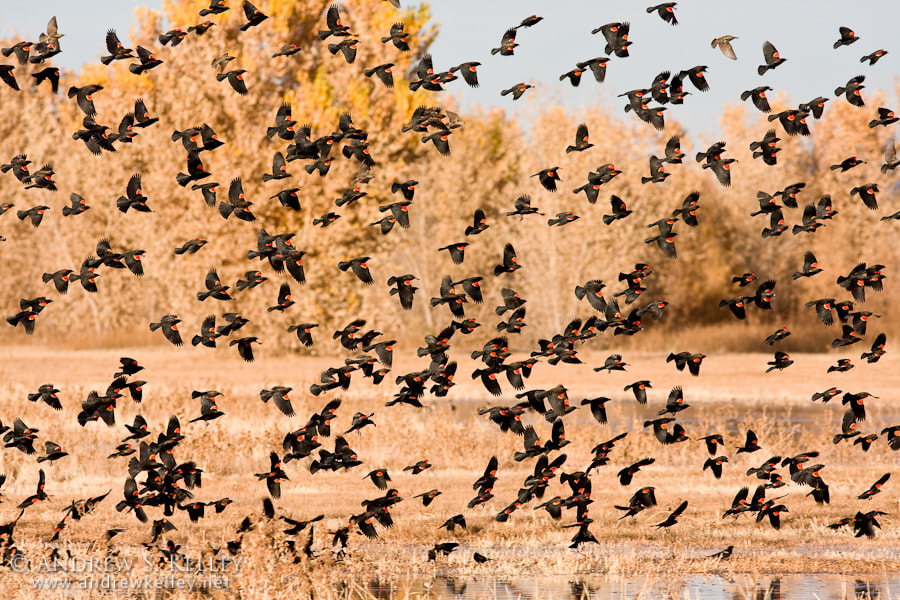 Photograph Blackbirds by Andrew Kelley on 500px