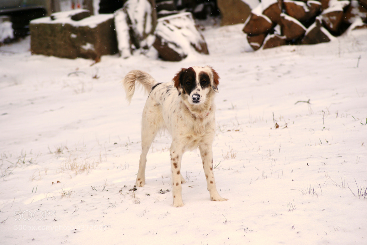 Photograph Snow Dog by Erika Kraus on 500px