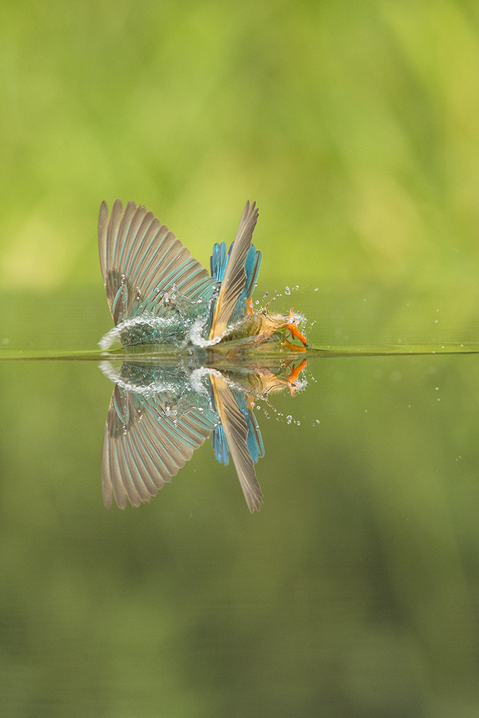 Photograph Diving Kingfisher Reflection by Jamie Hall on 500px
