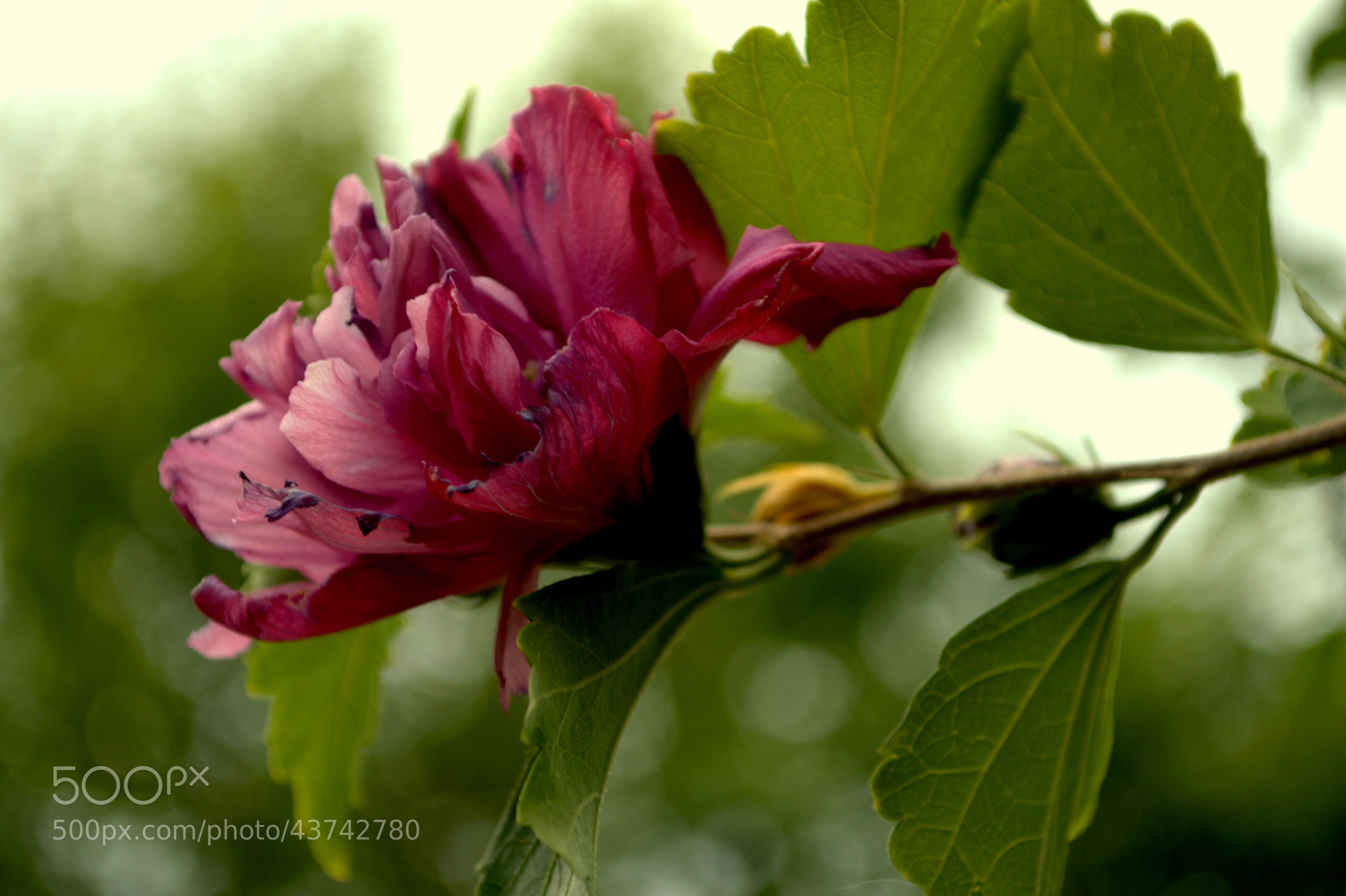 Photograph Rose of Sharon by Sherrie  on 500px