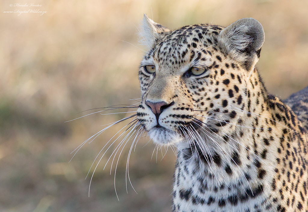 Photograph Miss Whiskers by Hendri Venter on 500px