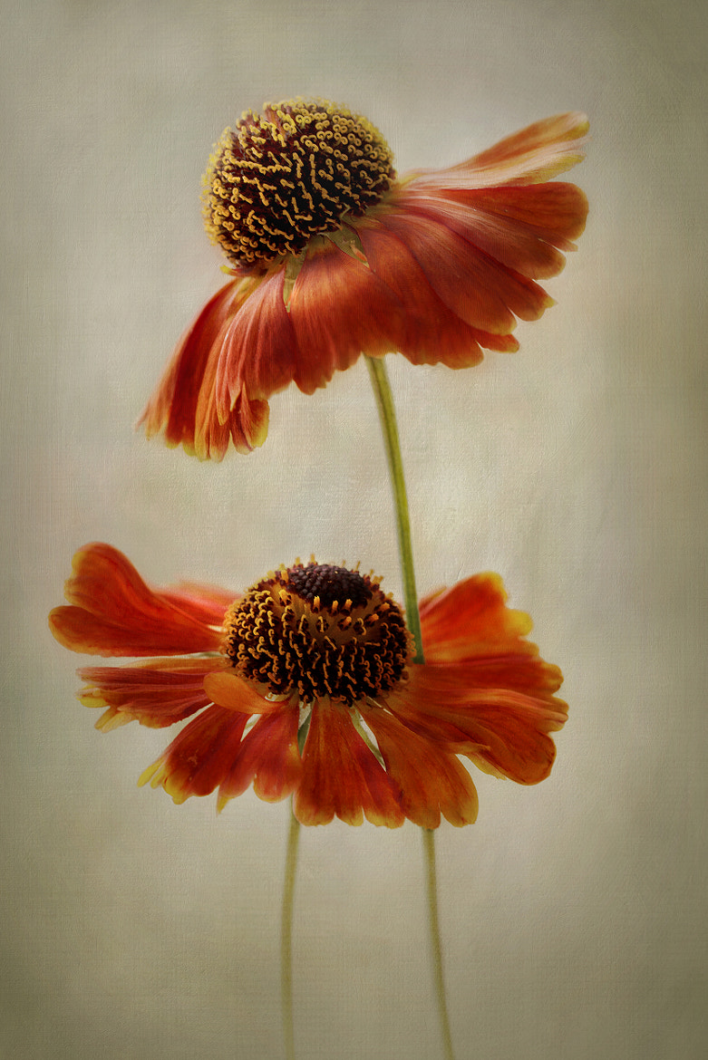 Photograph Helenium by Mandy Disher on 500px