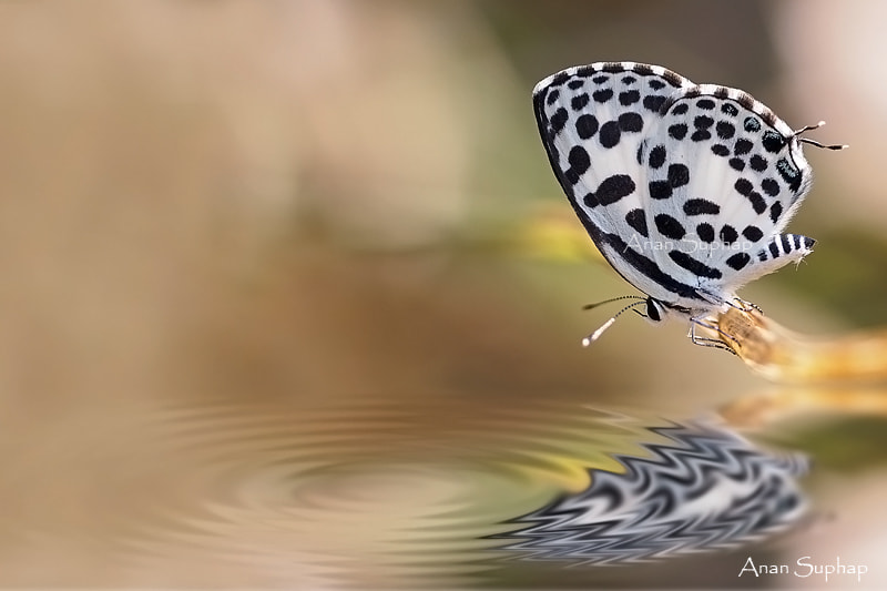 Photograph Common Pierrot by Anan Suphap on 500px