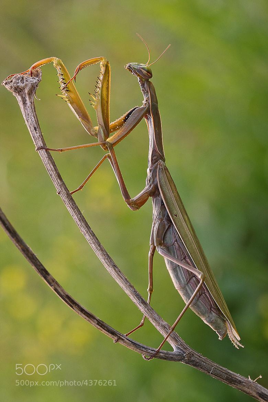 Photograph Mantis by Tamara Kavalou on 500px