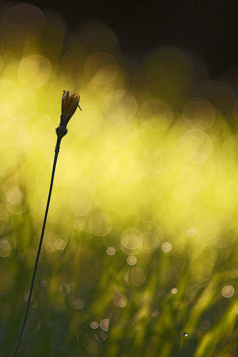Photograph Dandelion in the early morning light by Tamara Kavalou on 500px