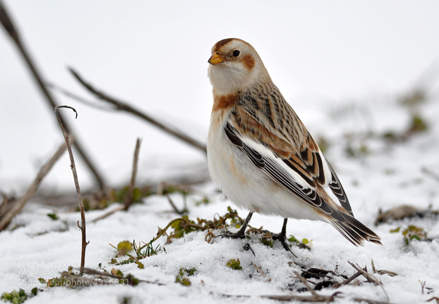 Photograph  Snow Bunting by James Frith on 500px