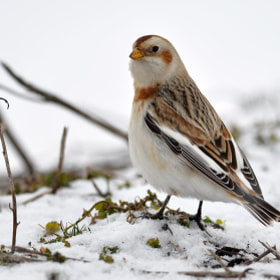 Snow Bunting by James Frith (jimfrith)) on 500px.com