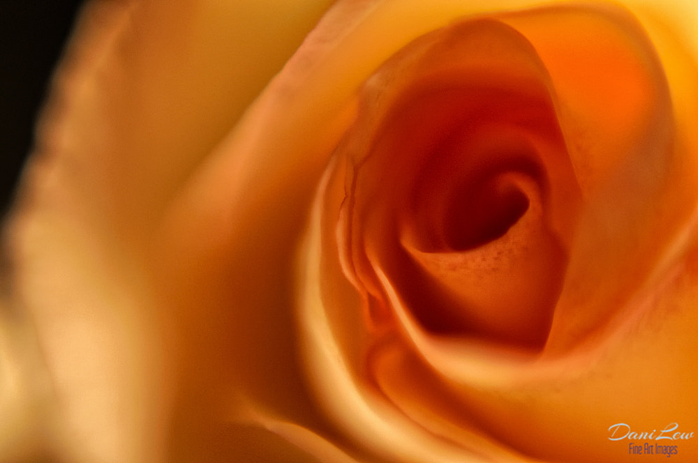 Photograph Macro view of a yellow rose flower by Danielle Lewis on 500px