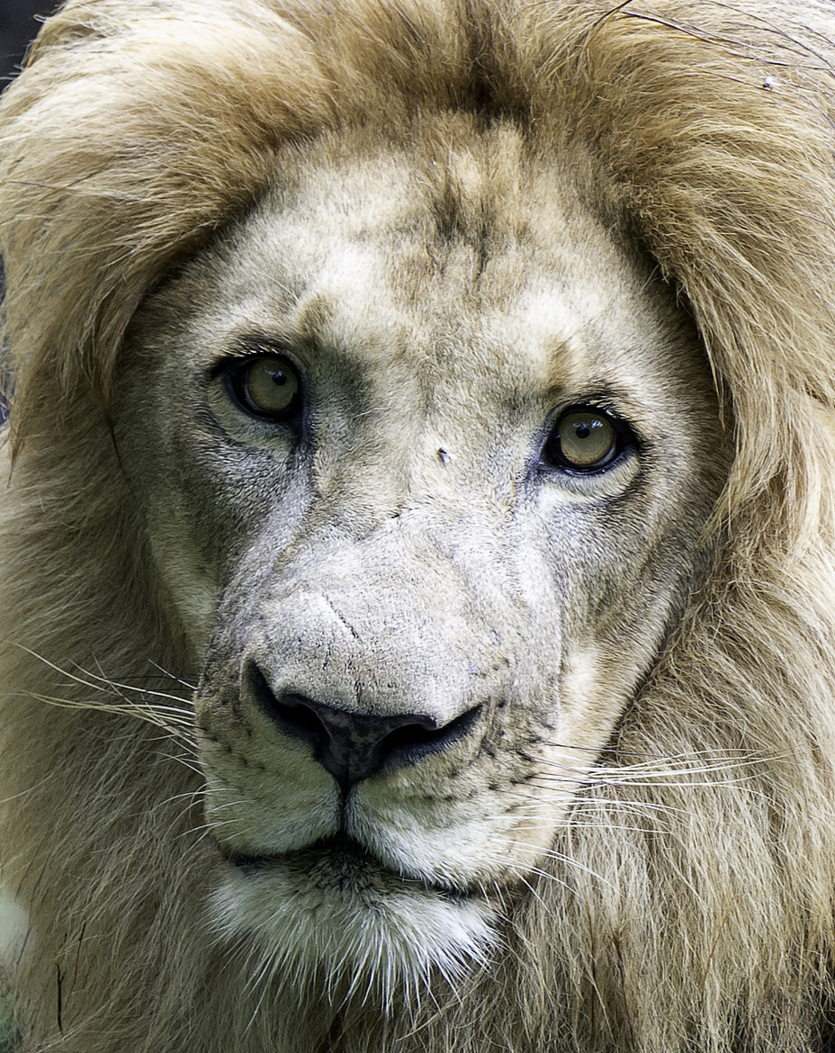 Photograph Lion by Clifford Martin on 500px