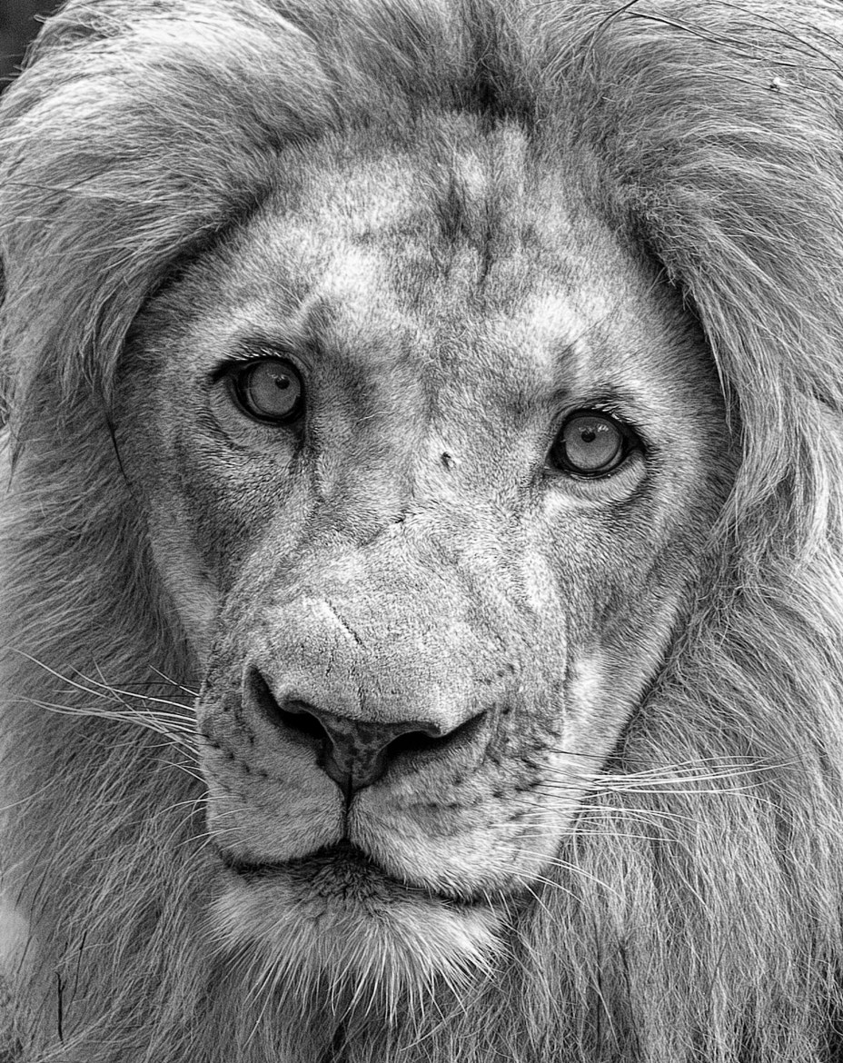Photograph Lion - B&W by Clifford Martin on 500px