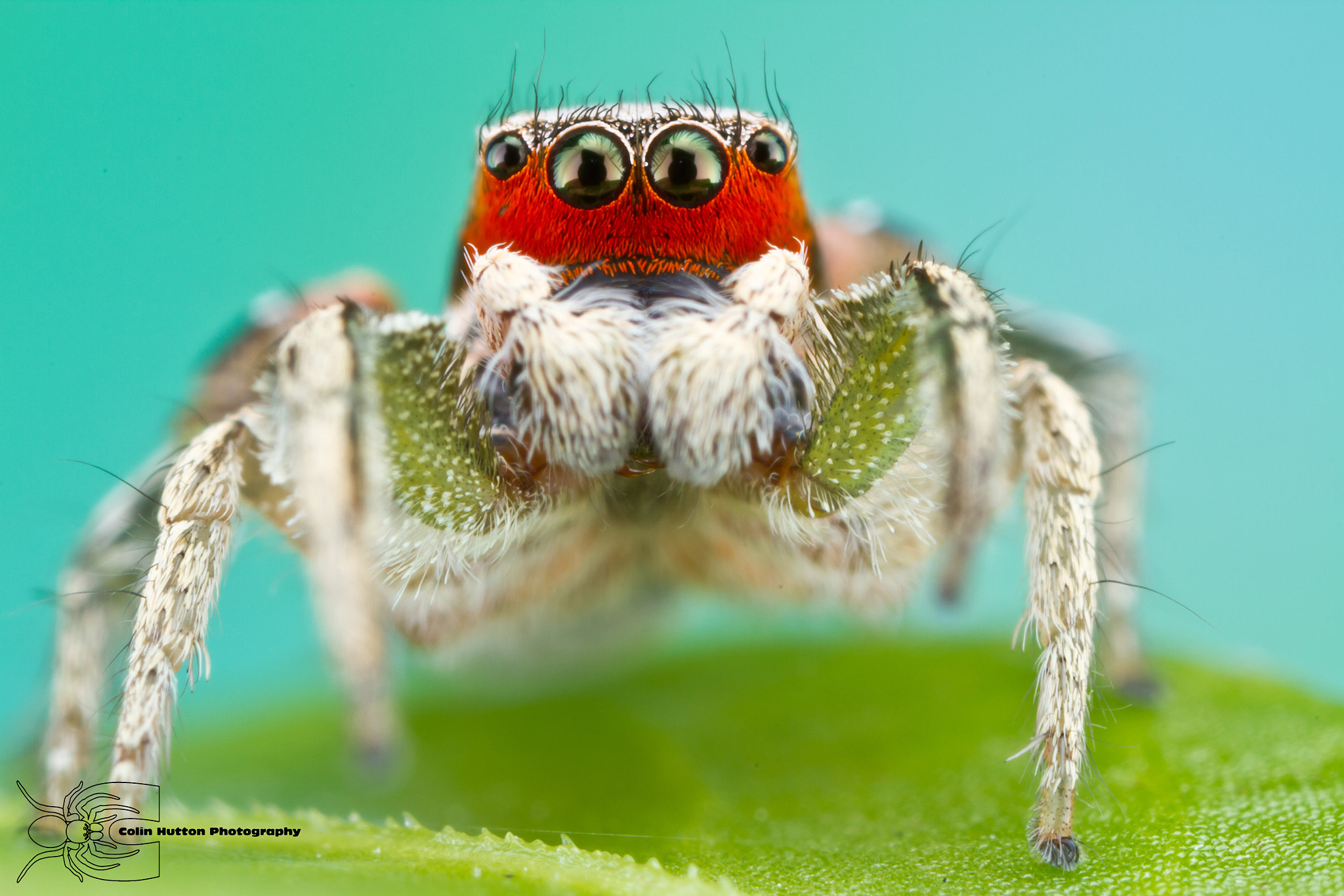 Photograph Habronattus pyrrithrix by Colin Hutton on 500px