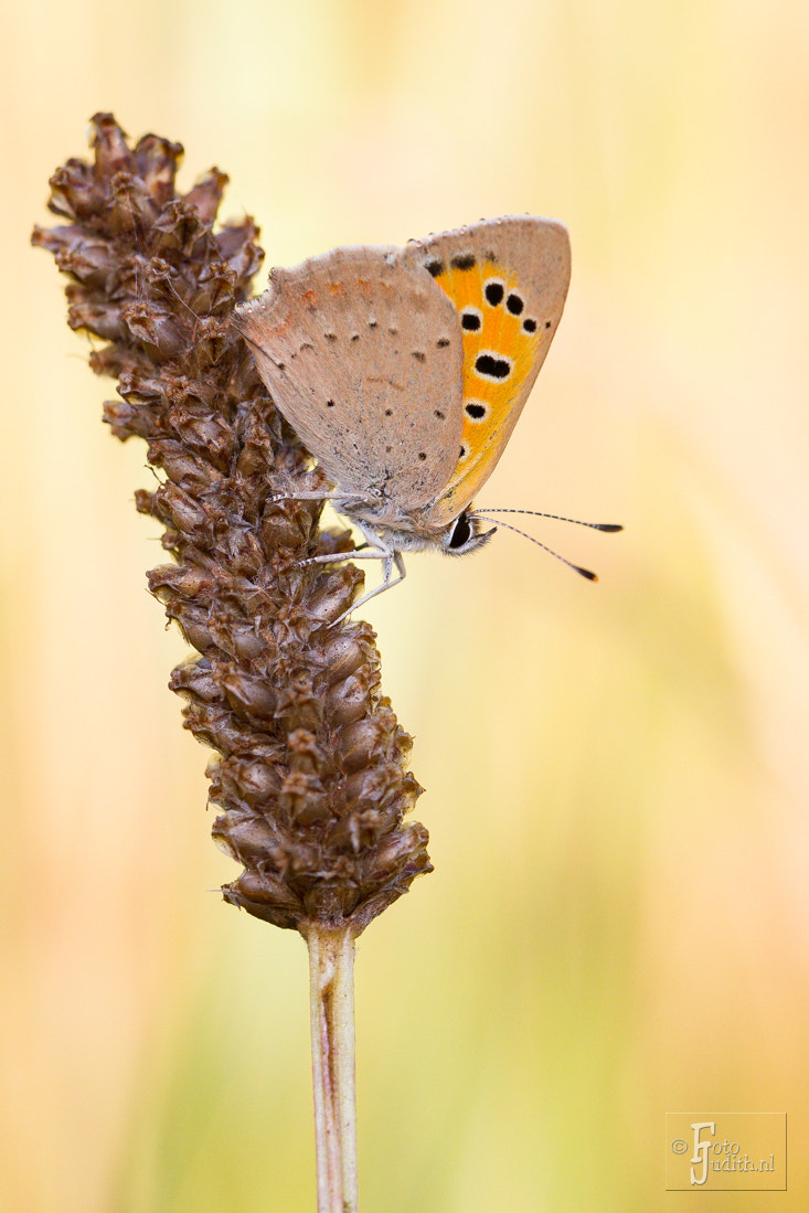 Photograph Small Copper by Judith Borremans on 500px