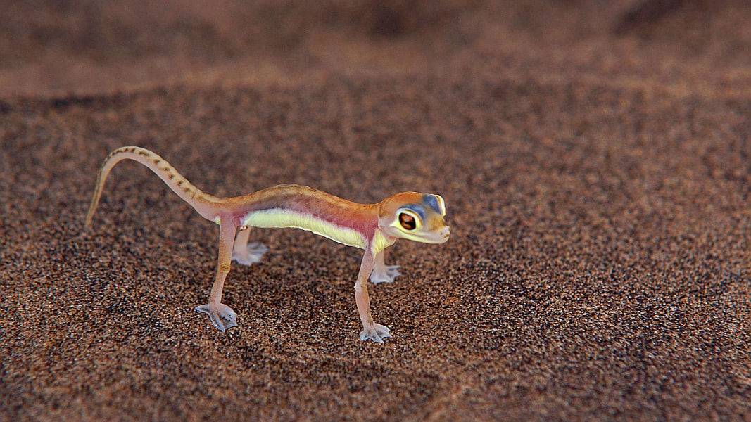 Photograph Palmatogecko by Sandra Löber on 500px