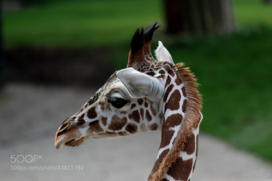Photograph Giraffe Calf by Nicole Skirka on 500px