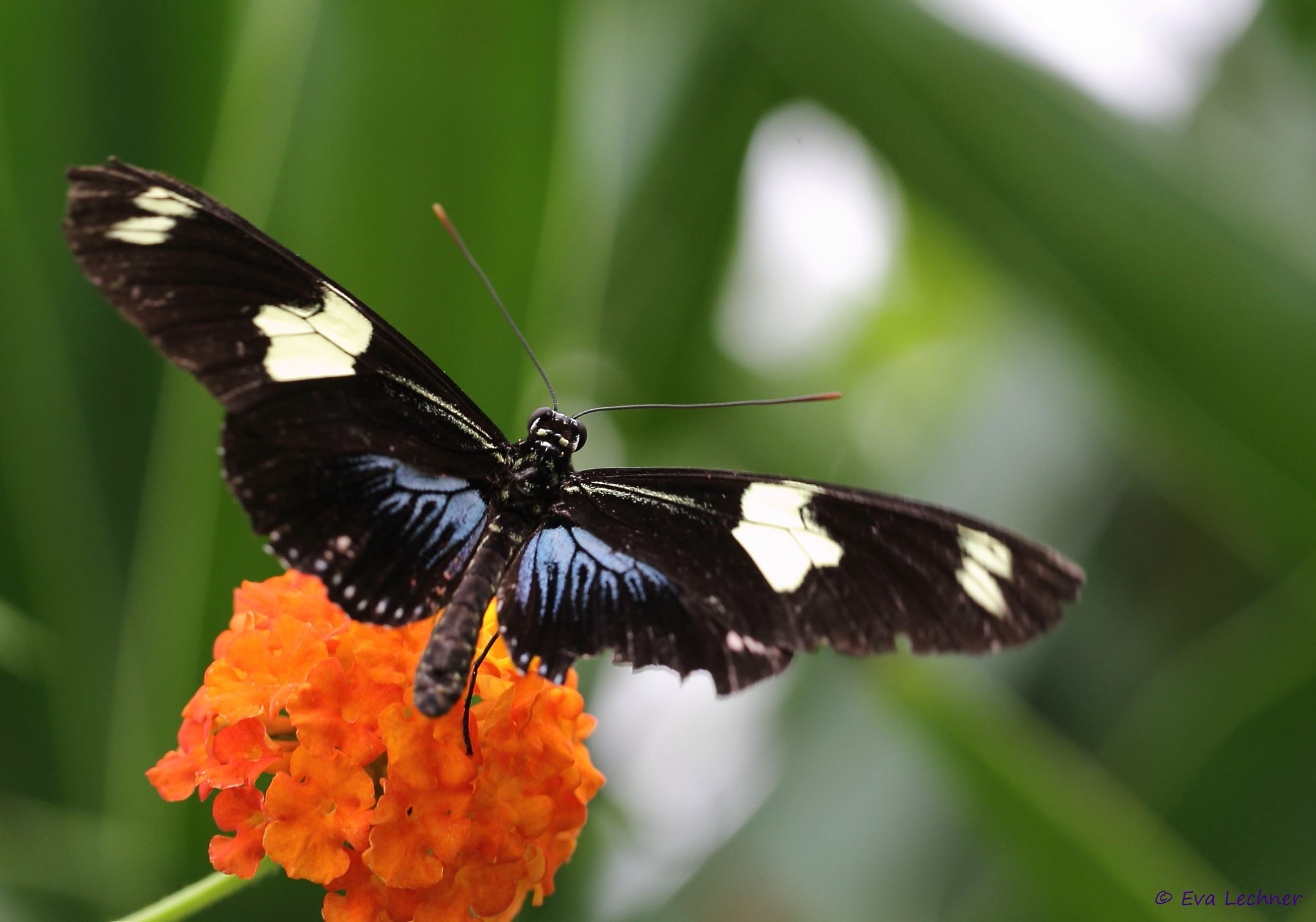 Photograph Heliconius Doris by Eva Lechner on 500px