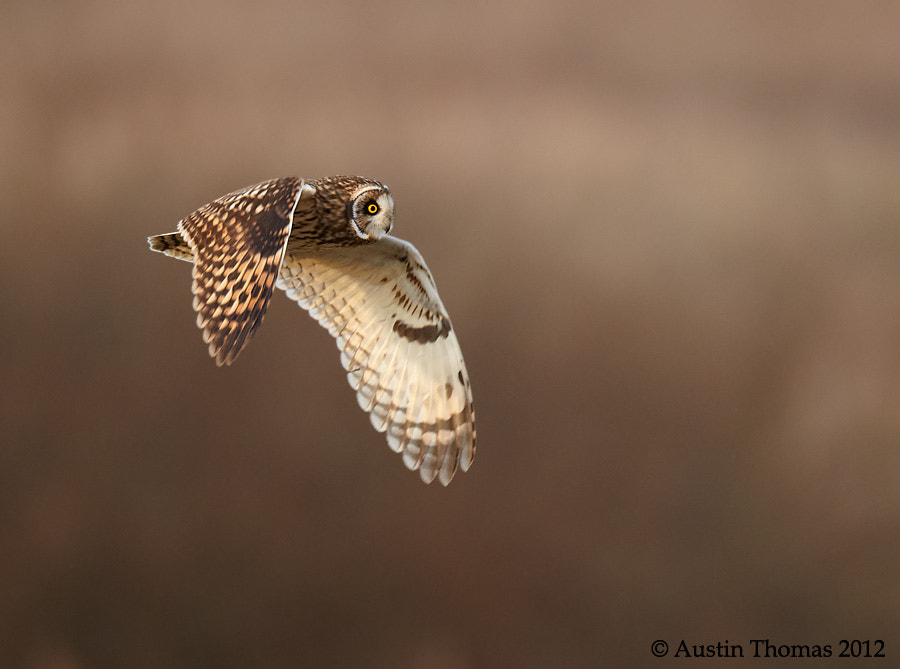 Short Eared Owl - wings down