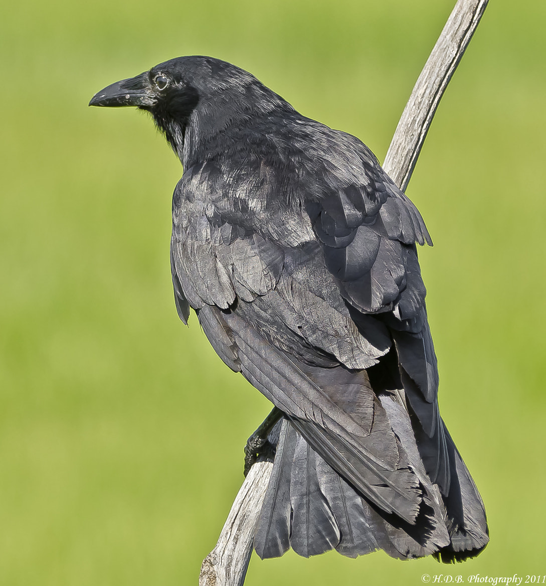 Photograph Fish Crow by Harold Begun on 500px