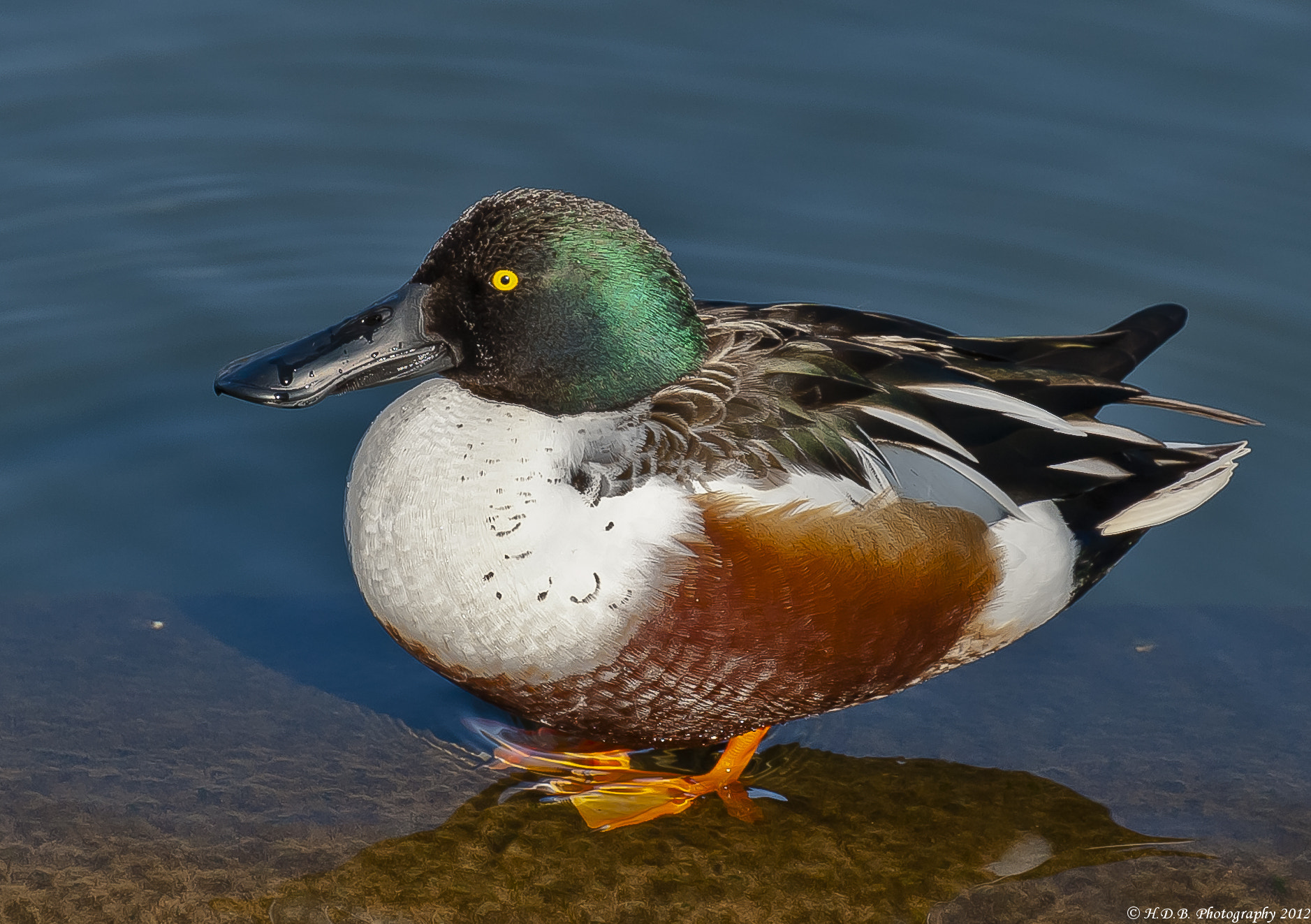 Photograph Male Northern Shoveler by Harold Begun on 500px