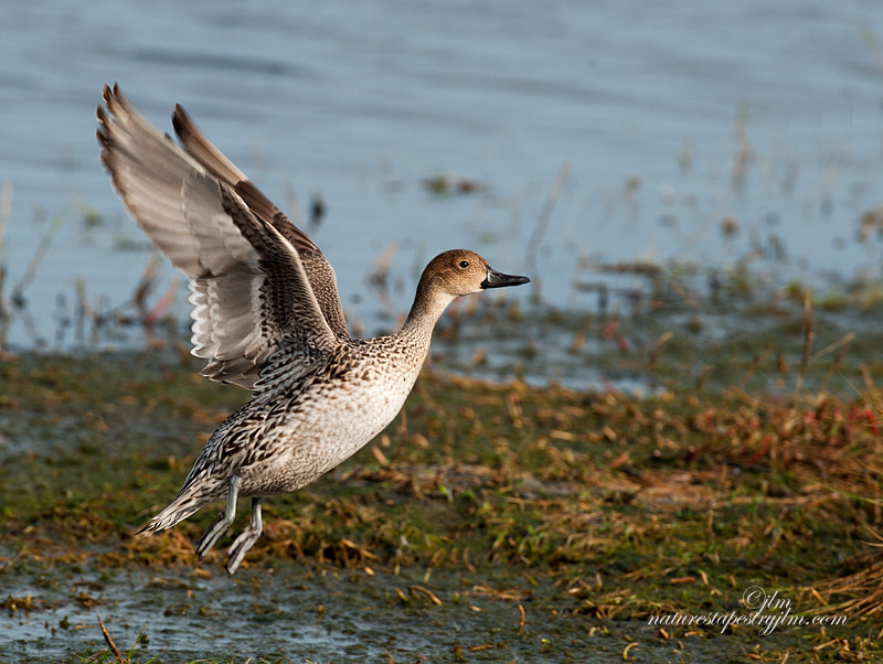 This is an image taken last week of a female pintail taking off.  We have hundreds of these beautiful ducks here in Florida as they are for a short time during them winteer months,  The male is more striking but she has a quiet beauty all of her own.