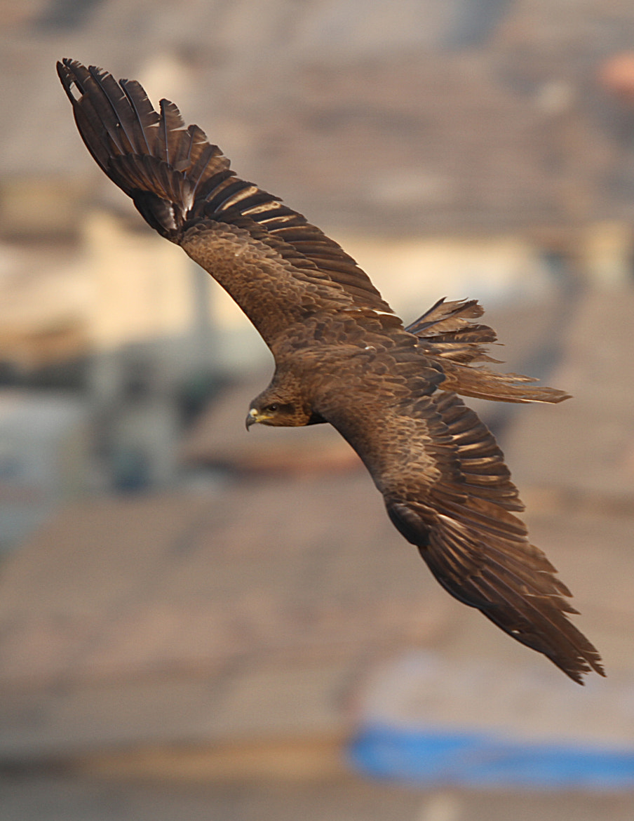 Photograph Indian Spotted Eagle by Arun Sundar on 500px