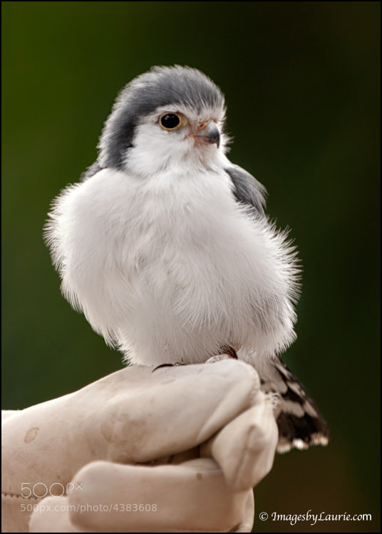 "Meet the Pygmy Falcon. Notice how small this little guy is perched on a finger. These are the smallest raptors found in southern and eastern Africa. They are around 6"" and eat insects, reptiles and small mammals. Too cute for words so hopefully a photo will do!"