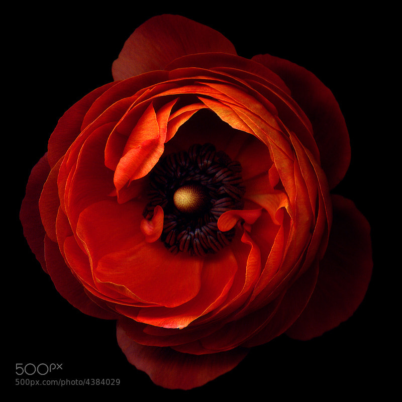 Photograph A FLOWERWORK ORANGE... ranunculus  by Magda indigo on 500px