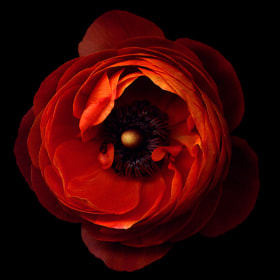 A FLOWERWORK ORANGE... ranunculus  by Magda indigo (magdaindigo)) on 500px.com