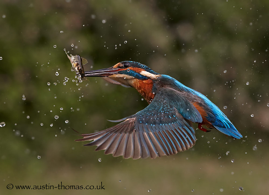 A Kingfisher in flight with a fish