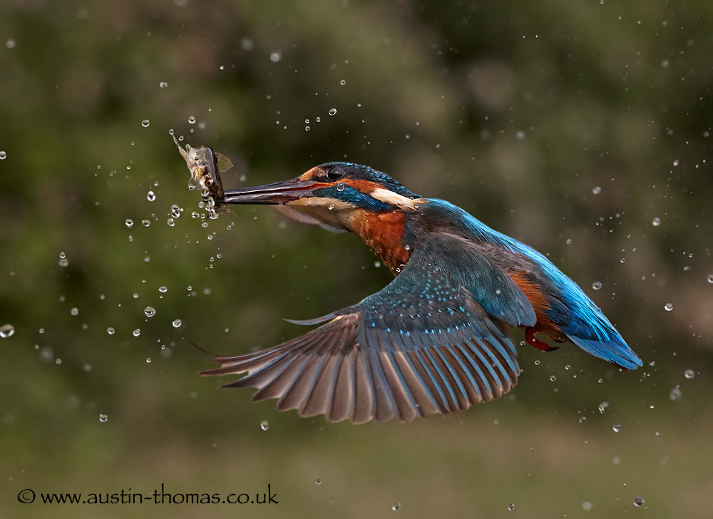 Photograph A Kingfisher in flight with a fish by Austin Thomas on 500px
