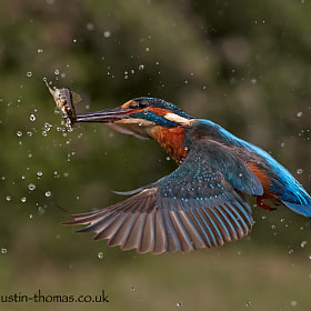 Still, a Kingfisher in flight with a fish...