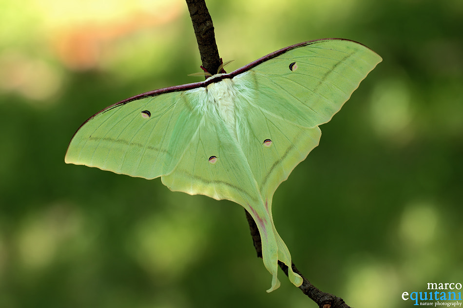 Photograph Actias selene by Marco  Equitani on 500px