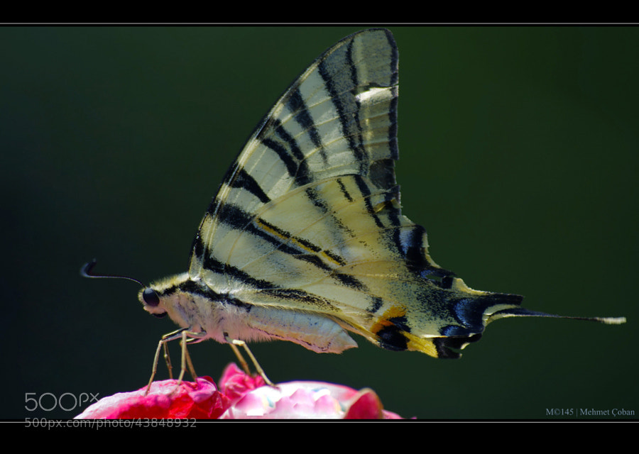 "Butterfly by Mehmet Çoban on 500px.com"" border=""0"" style=""margin: 0 0 5px 0;"