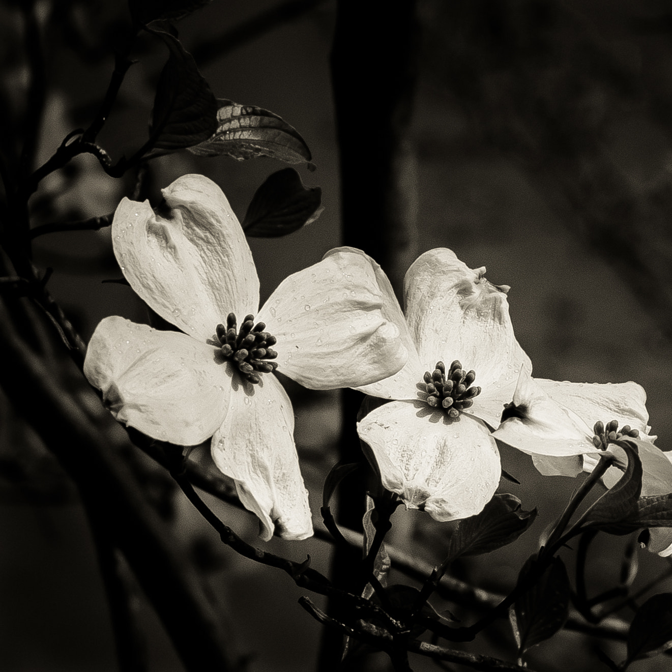 Photograph Dogwood by Robin Nordmeyer on 500px