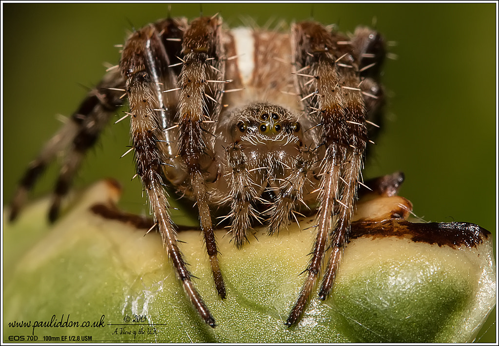 Photograph New EOS 70D - Orb Spider by Paul Iddon on 500px
