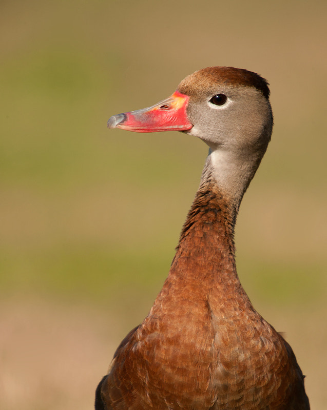 Photograph Black Bellied Whistling Duck - Bust by James Shadle on 500px