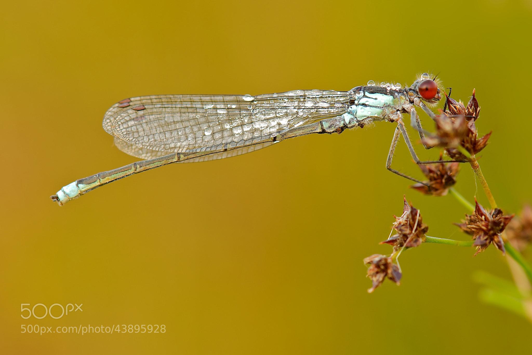 Photograph Red-eyed Damselfly by Erik Veldkamp on 500px