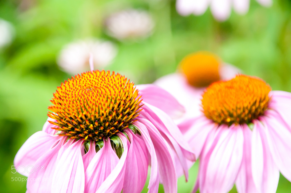Photograph Echinacea by David Alary on 500px