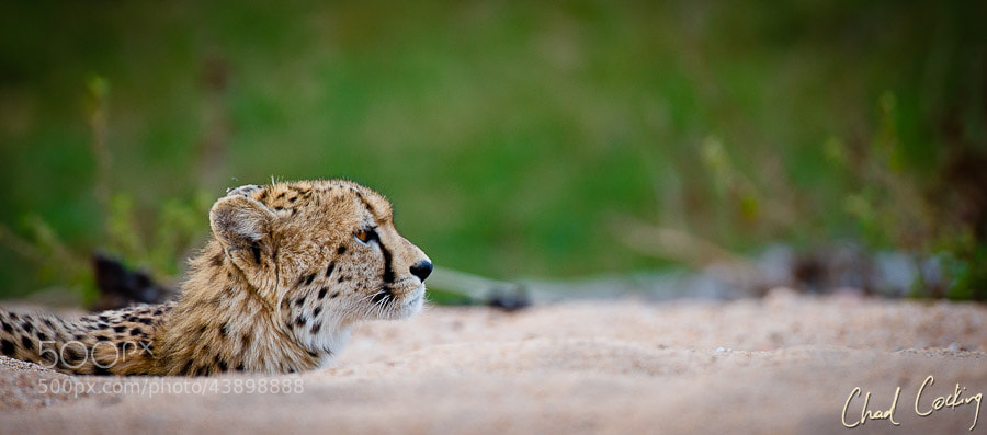 Photograph Low Angle Cheetah by Chad Cocking on 500px