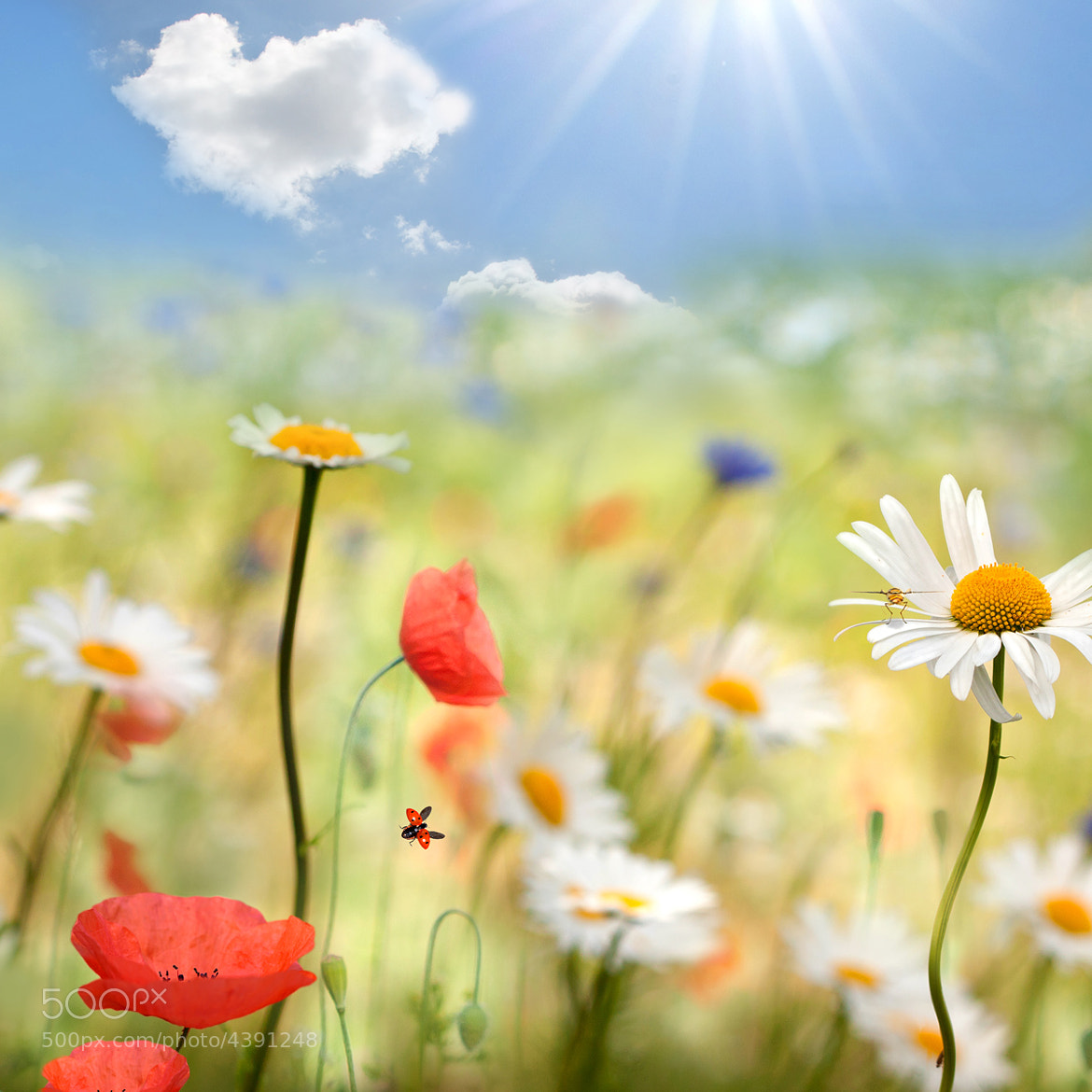 Photograph Poppies and daisies by Teuni Stevense on 500px