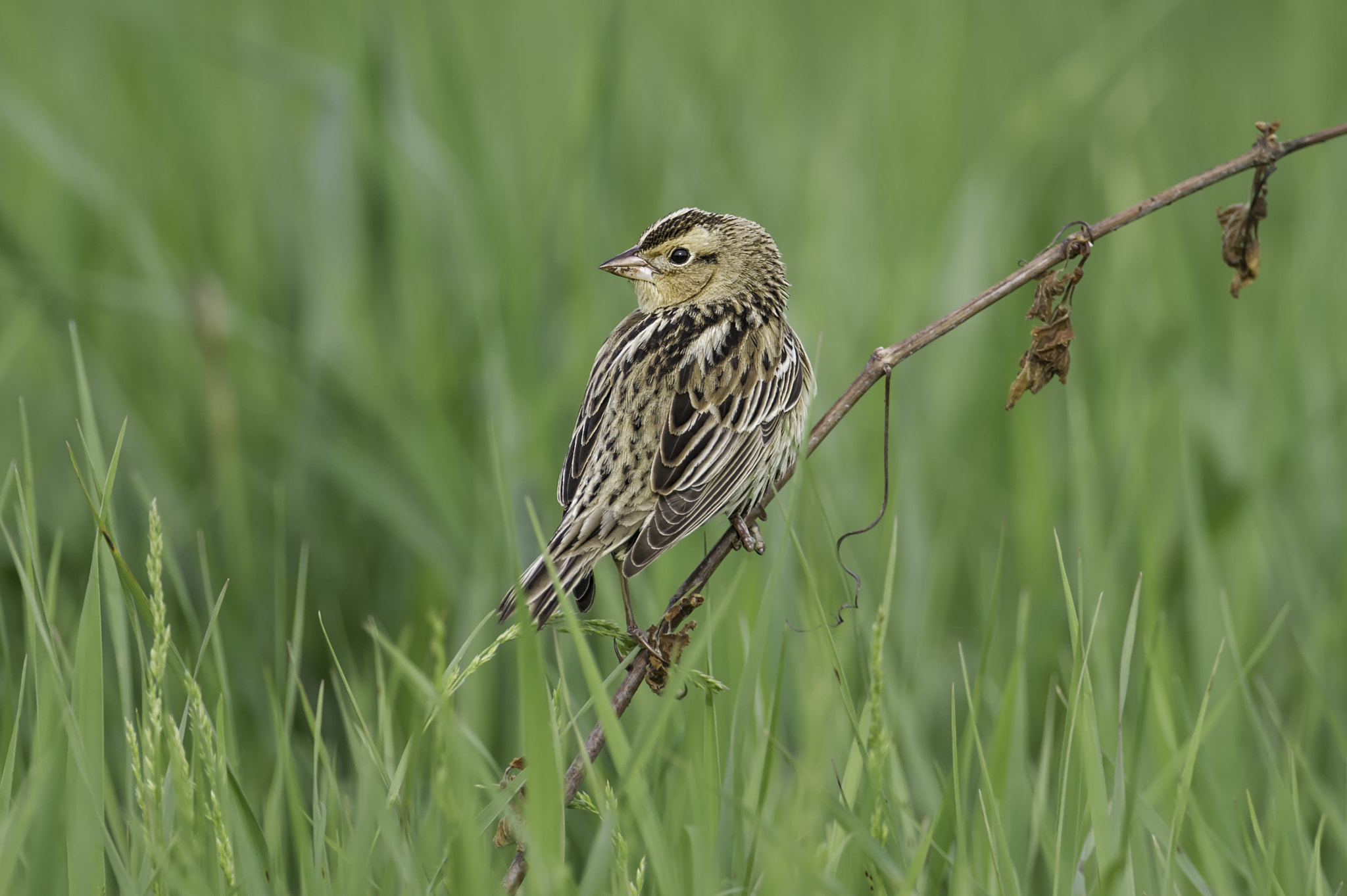 Photograph Bobolink; female by Daniel Parent on 500px
