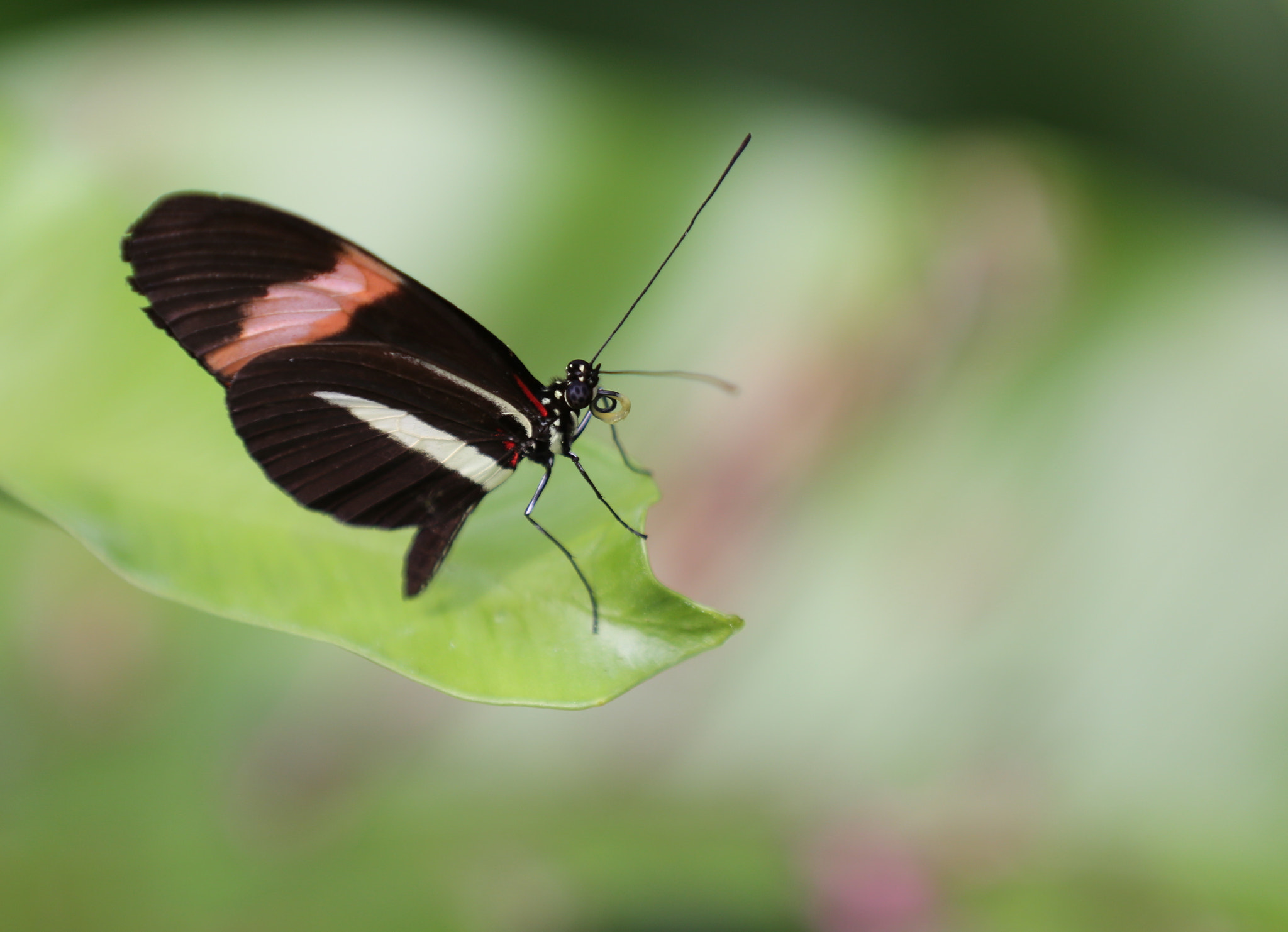 Photograph Heliconius Besckei by Eva Lechner on 500px