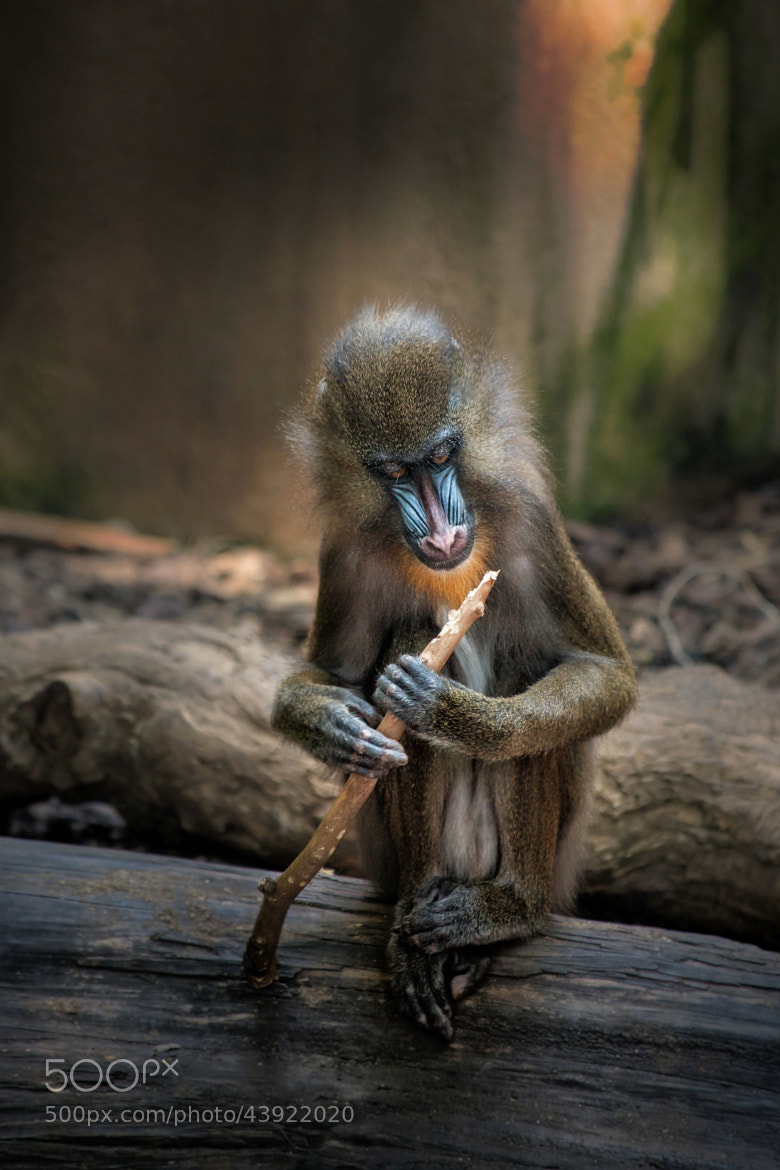 Photograph Mandrill by Jean-Pierre Perren on 500px