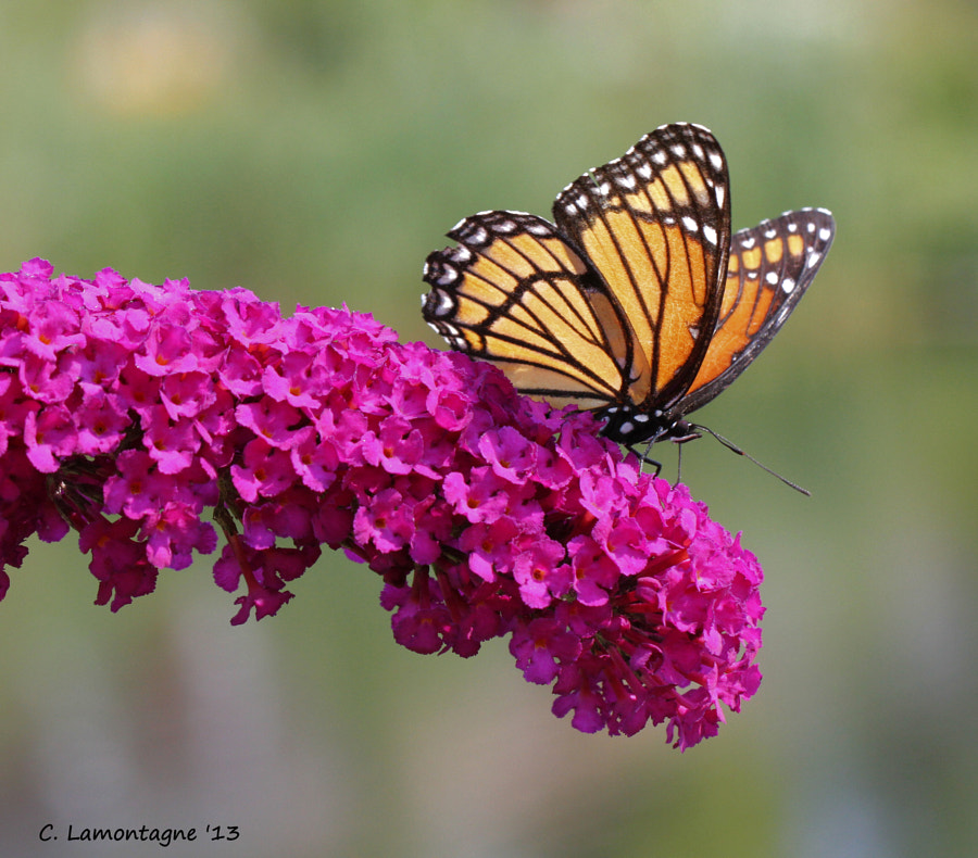 I went to visit with my friend Barb D'Arpino for a couple of days. This Viceroy butterfly posed very briefly on a butterfly bush in a garden near her chalet. We had fun together shooting insects and birds in and around Wasaga Beach where she lives. Thank you Barb, Hammer and Stephanie for your hospitality :)
