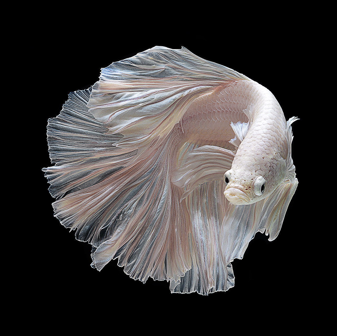 Photograph white betta fish by visarute angkatavanich on 500px
