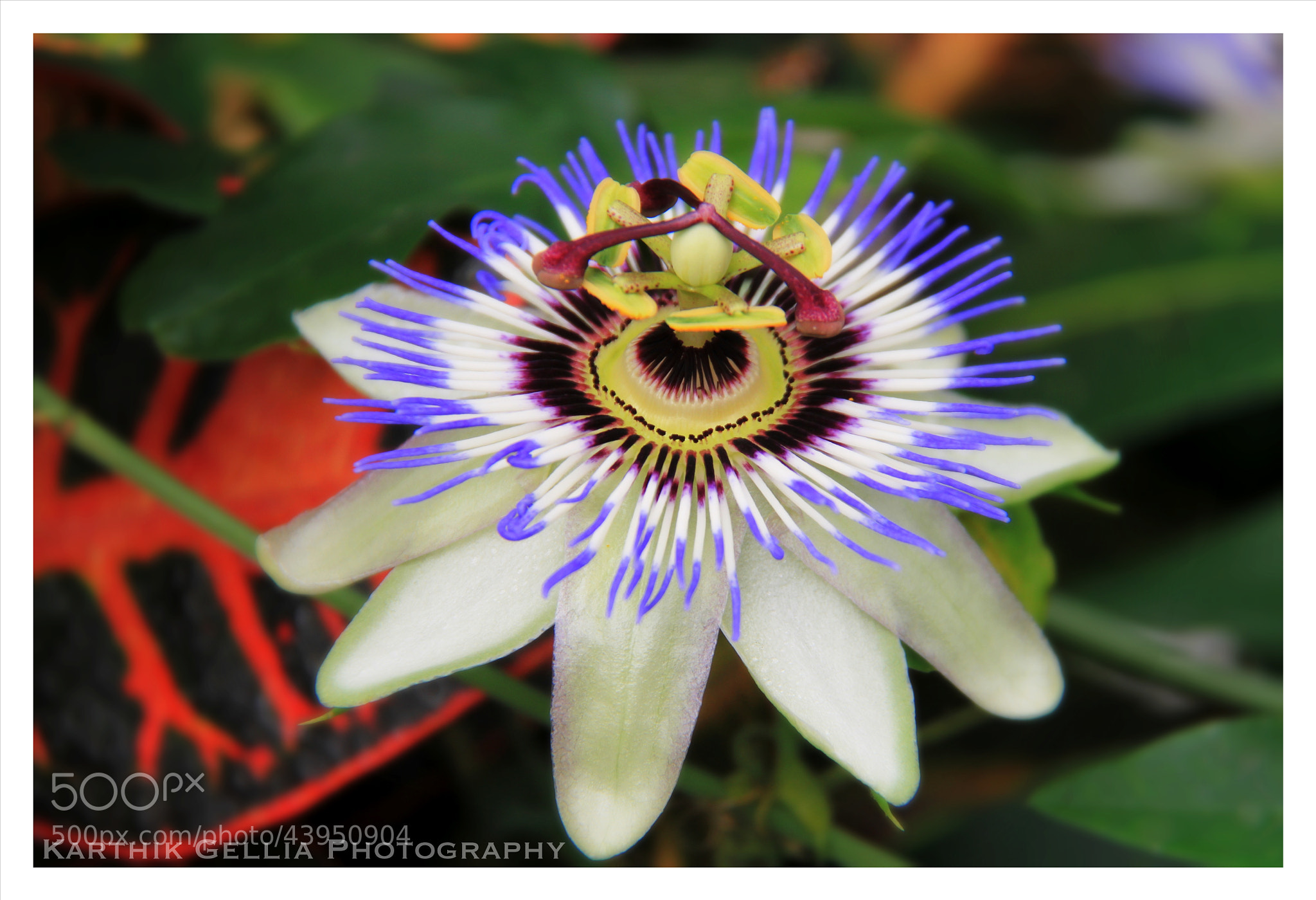 Photograph The Beautiful Passion Flower by Karthik Gellia on 500px