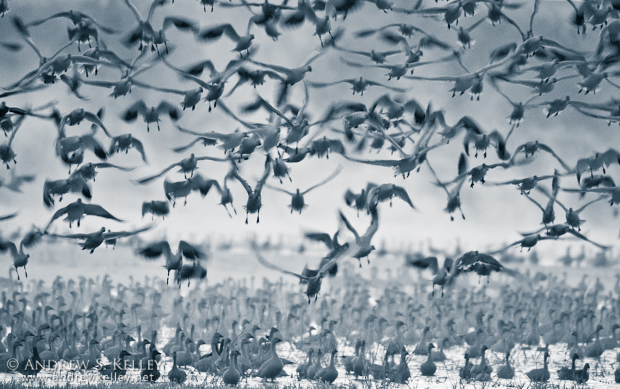 Photograph Snow Geese Impressions by Andrew Kelley on 500px