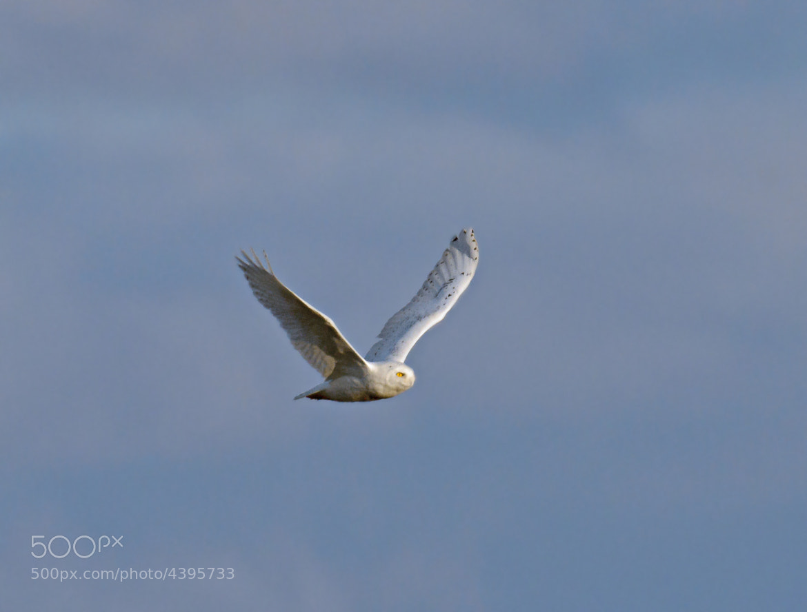 Photograph Snowy Owl by Steven Kersting on 500px